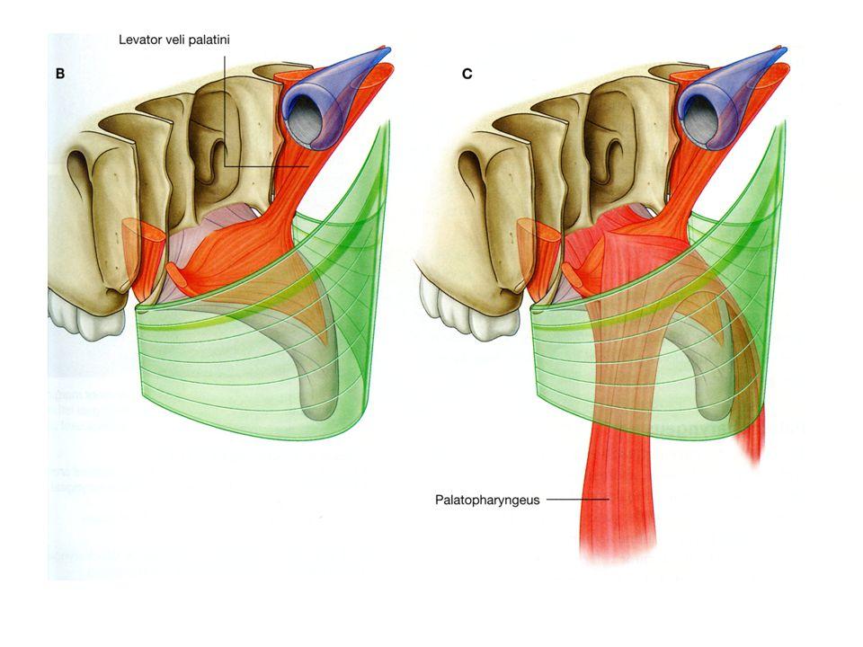 Slide 50  Palatoglossus Palatopharyngeus