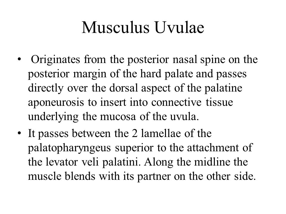 Musculus Uvulae Originates from the posterior nasal spine on the posterior margin of the hard palate and passes directly over the dorsal aspect of the