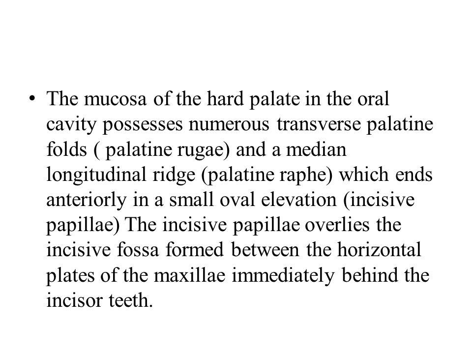 The mucosa of the hard palate in the oral cavity possesses numerous transverse palatine folds ( palatine rugae) and a median longitudinal ridge (palat