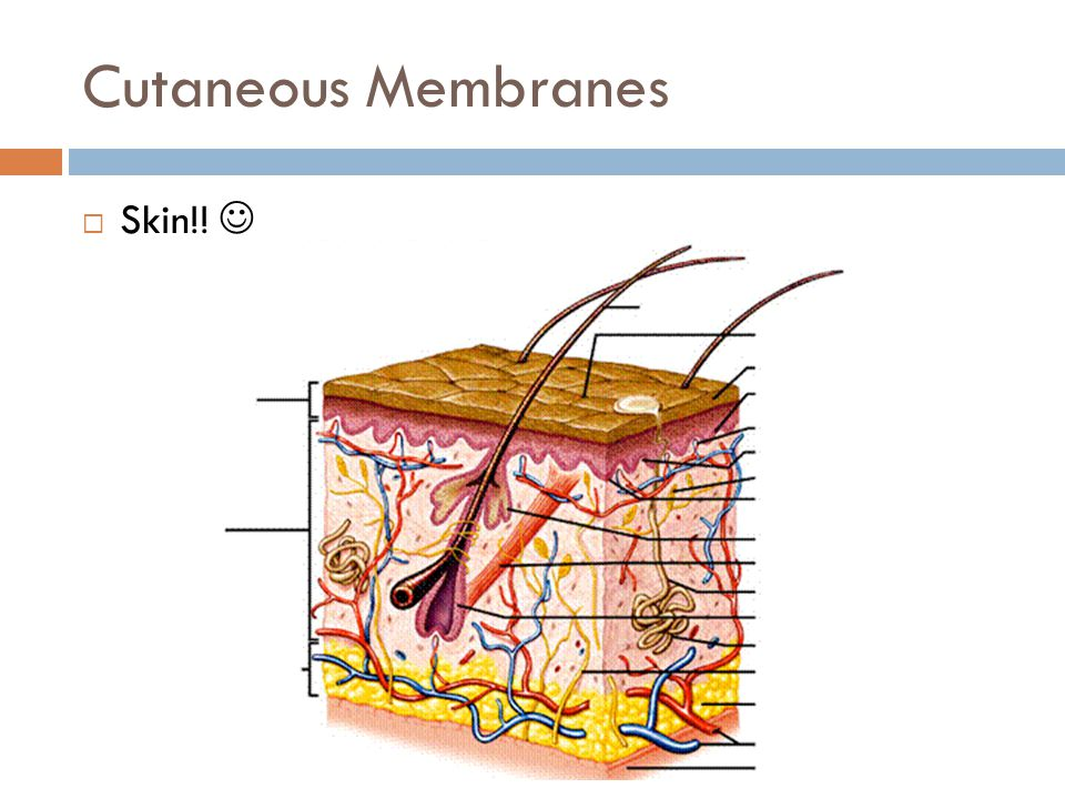 Cutaneous Membranes  Skin!!
