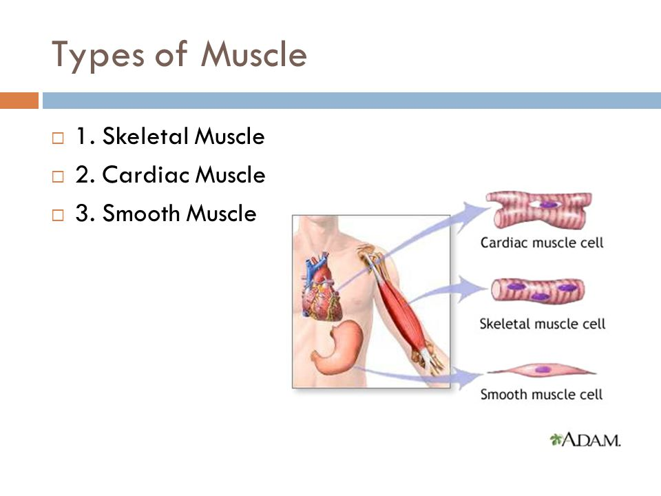 Types of Muscle  1. Skeletal Muscle  2. Cardiac Muscle  3. Smooth Muscle