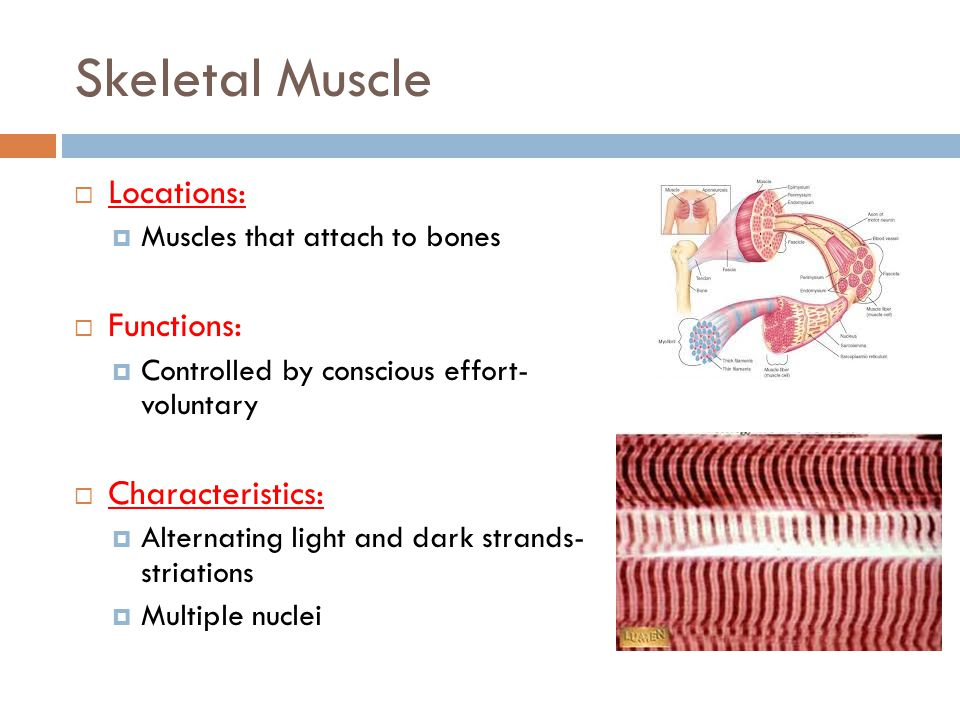 Cardiac Muscle  Locations:  Only in the heart  Functions:  Controlled by unconscious effort- involuntary  Characteristics:  Striated, branched cells  Single nucleus  Cell joined end to end- intercalated disc