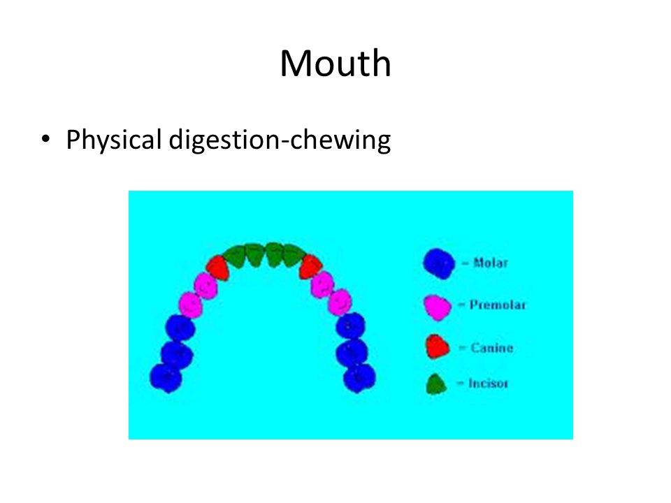 Mouth Physical digestion-chewing