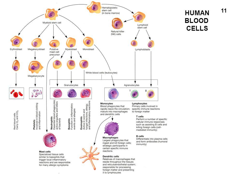 HUMAN BLOOD CELLS 11