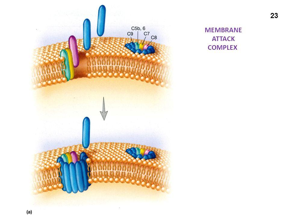MEMBRANE ATTACK COMPLEX 23