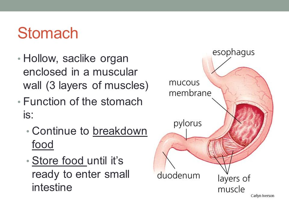 Stomach Hollow, saclike organ enclosed in a muscular wall (3 layers of muscles) Function of the stomach is: Continue to breakdown food Store food unti