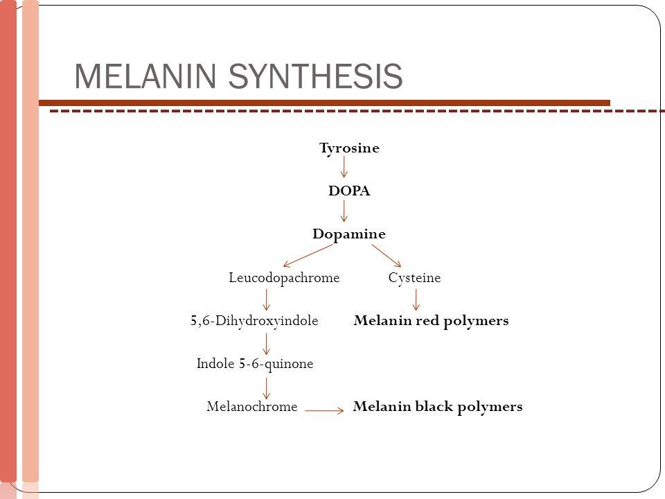 MELANIN SYNTHESIS Tyrosine DOPA Dopamine Leucodopachrome Cysteine 5,6-Dihydroxyindole Melanin red polymers Indole 5-6-quinone Melanochrome Melanin bla