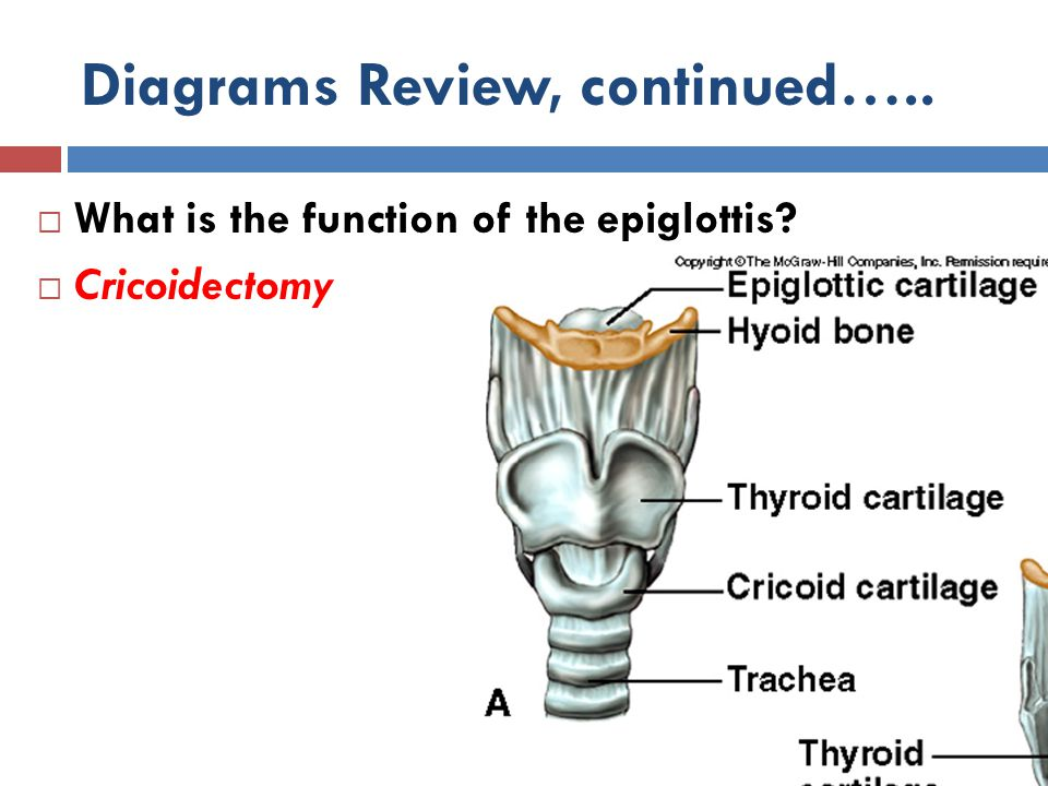 Diagrams Review, continued…..  What is the function of the epiglottis?  Cricoidectomy