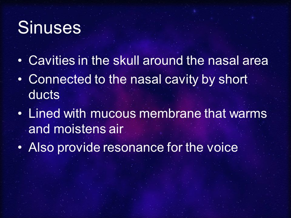 Sinuses Cavities in the skull around the nasal area Connected to the nasal cavity by short ducts Lined with mucous membrane that warms and moistens air Also provide resonance for the voice