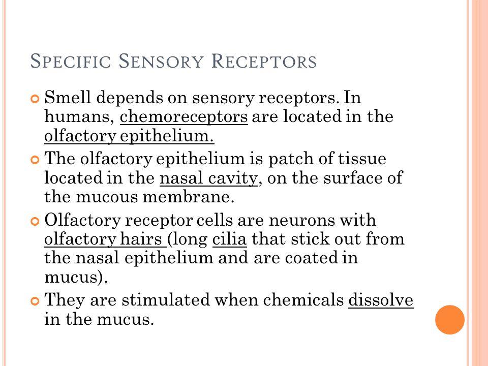 S PECIFIC S ENSORY R ECEPTORS Smell depends on sensory receptors.