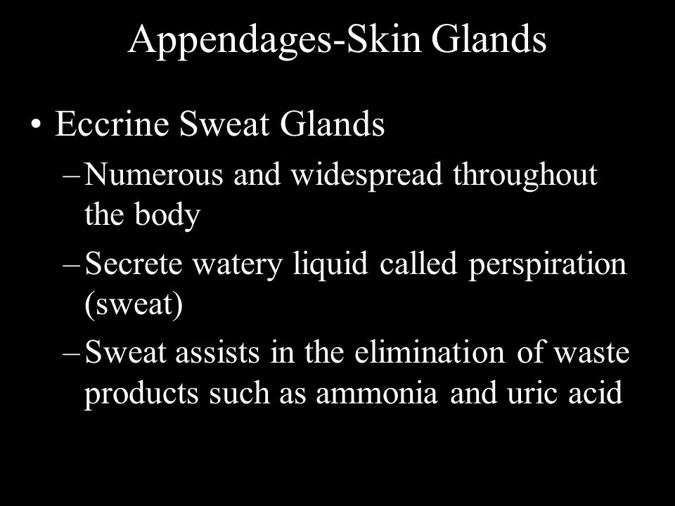 Appendages-Skin Glands Eccrine Sweat Glands –Numerous and widespread throughout the body –Secrete watery liquid called perspiration (sweat) –Sweat ass