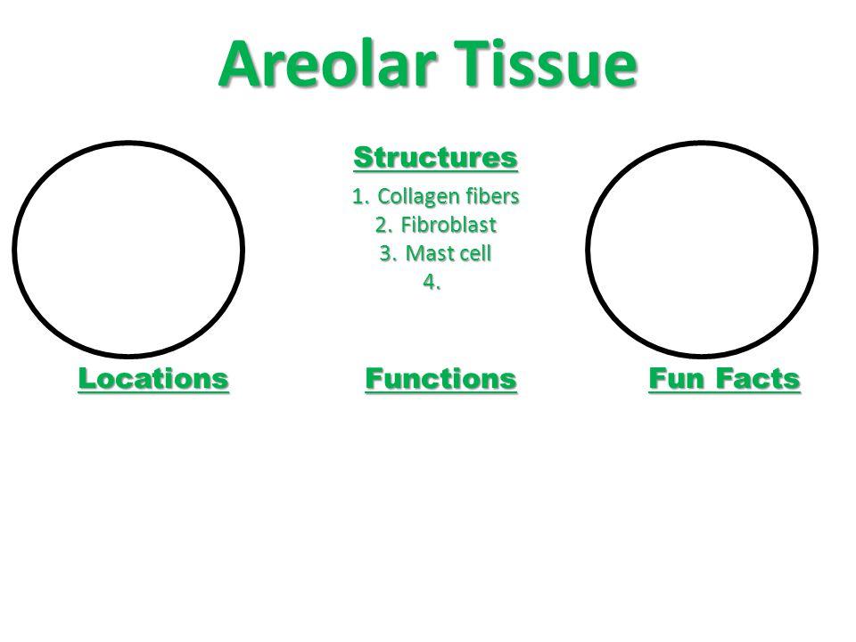 Areolar Tissue Structures 1.Collagen fibers 2.Fibroblast 3.Mast cell 4.