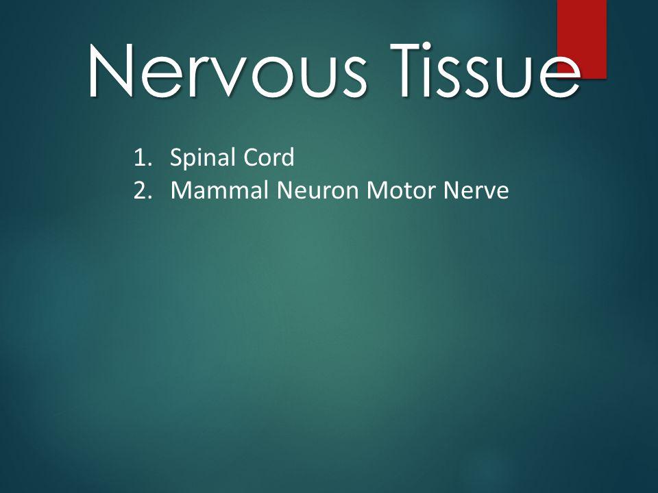 Nervous Tissue 1.Spinal Cord 2.Mammal Neuron Motor Nerve