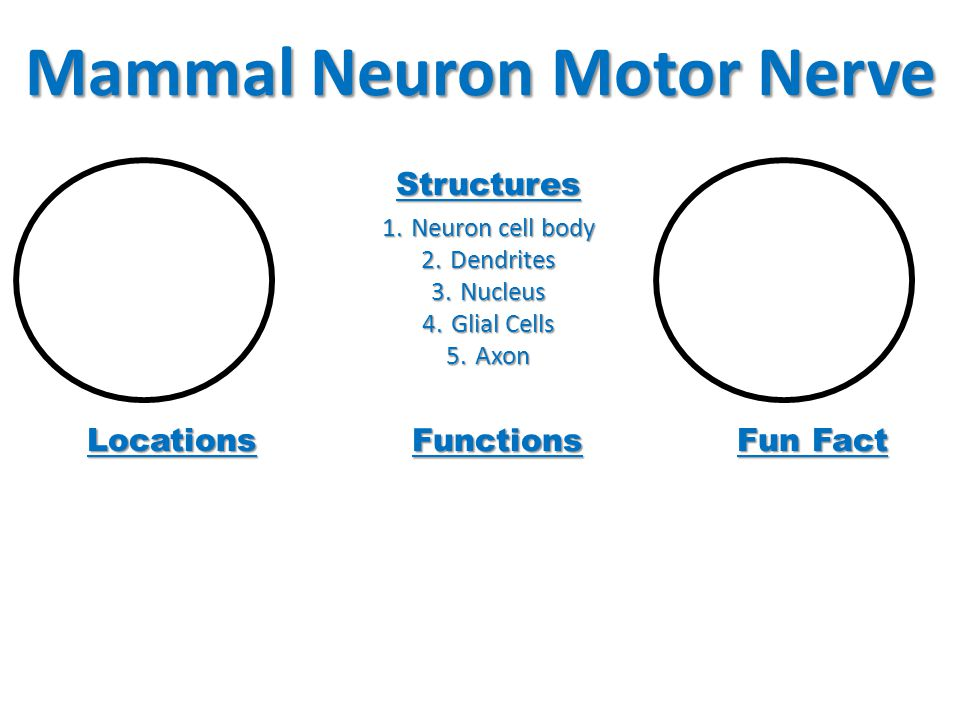 Mammal Neuron Motor Nerve Structures 1.Neuron cell body 2.Dendrites 3.Nucleus 4.Glial Cells 5.Axon Locations Functions Fun Fact