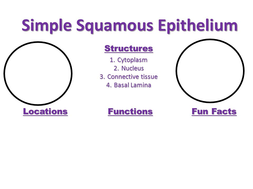 Simple Squamous Epithelium Structures 1.Cytoplasm 2.Nucleus 3.Connective tissue 4.Basal Lamina Locations Functions Fun Facts