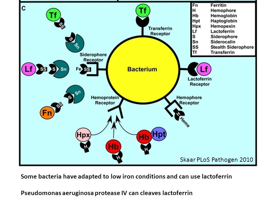 Some bacteria have adapted to low iron conditions and can use lactoferrin Pseudomonas aeruginosa protease IV can cleaves lactoferrin Skaar PLoS Pathogen 2010