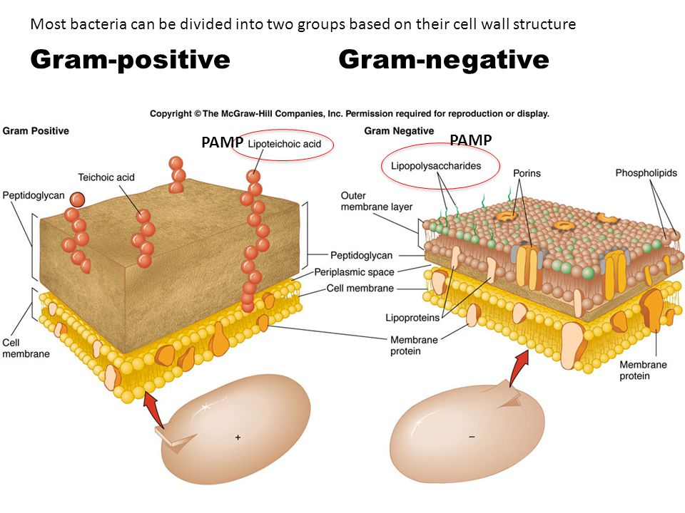 Gram-positiveGram-negative Most bacteria can be divided into two groups based on their cell wall structure PAMP