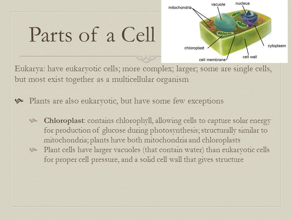 Parts of a Cell Eukarya: have eukaryotic cells; more complex; larger; some are single cells, but most exist together as a multicellular organism  Pla
