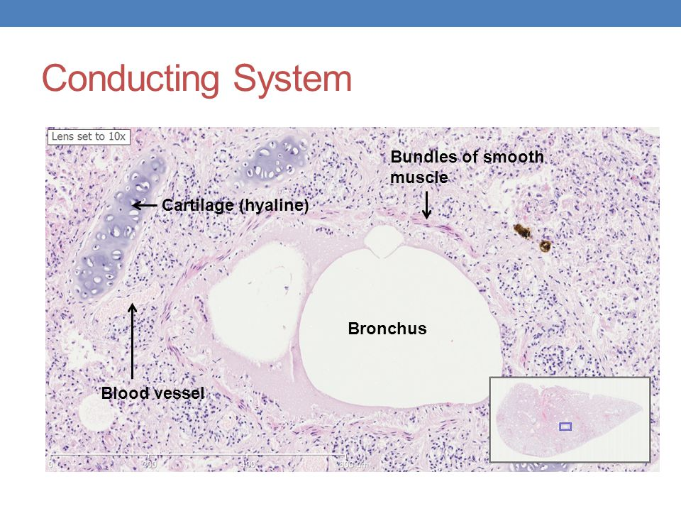 Conducting System Bronchus Cartilage (hyaline) Bundles of smooth muscle Blood vessel