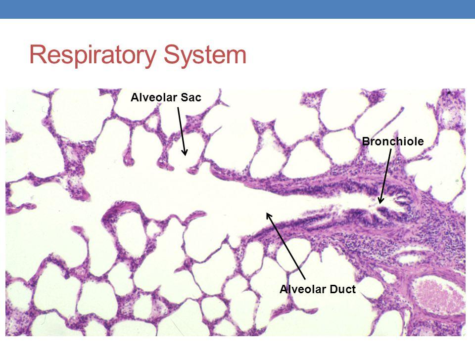 Respiratory System Bronchiole Alveolar Duct Alveolar Sac