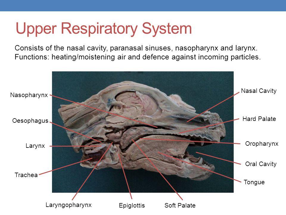 Upper Respiratory System Nasal Cavity Oral Cavity Oropharynx Nasopharynx Laryngopharynx Trachea Oesophagus Larynx Epiglottis Tongue Soft Palate Hard P