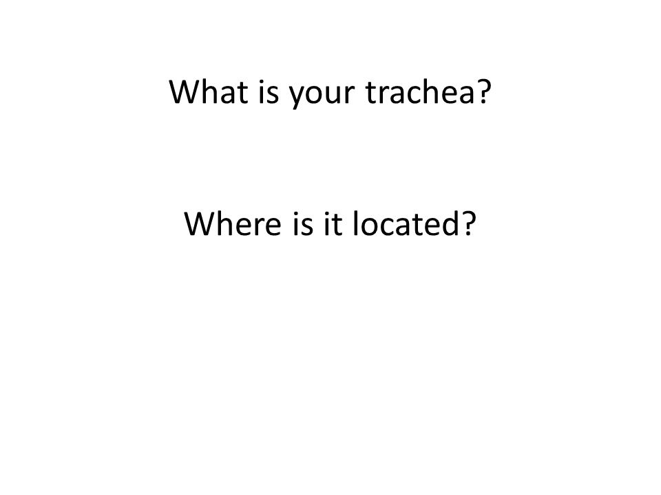 What is your trachea? Where is it located?