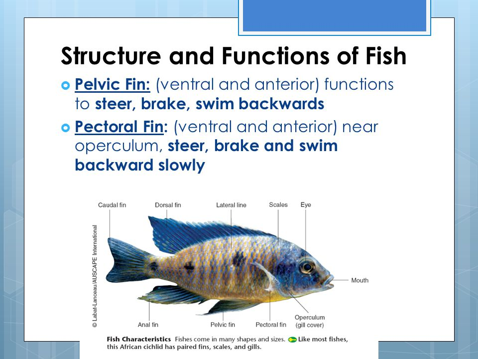 Structure and Functions of Fish  Pelvic Fin: (ventral and anterior) functions to steer, brake, swim backwards  Pectoral Fin: (ventral and anterior)