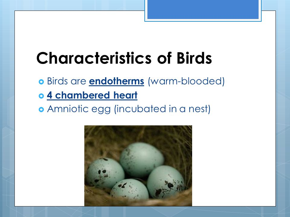 Characteristics of Birds  Birds are endotherms (warm-blooded)  4 chambered heart  Amniotic egg (incubated in a nest)