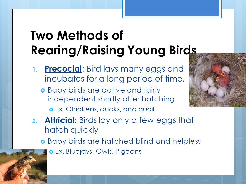 Two Methods of Rearing/Raising Young Birds 1. Precocial : Bird lays many eggs and incubates for a long period of time.  Baby birds are active and fai