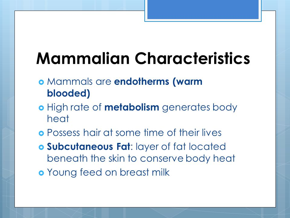 Mammalian Characteristics  Mammals are endotherms (warm blooded)  High rate of metabolism generates body heat  Possess hair at some time of their l
