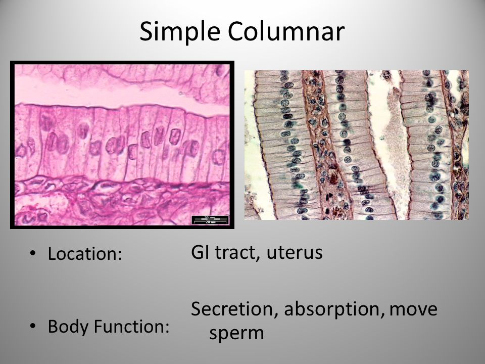Simple Columnar Location: Body Function: GI tract, uterus Secretion, absorption, move sperm