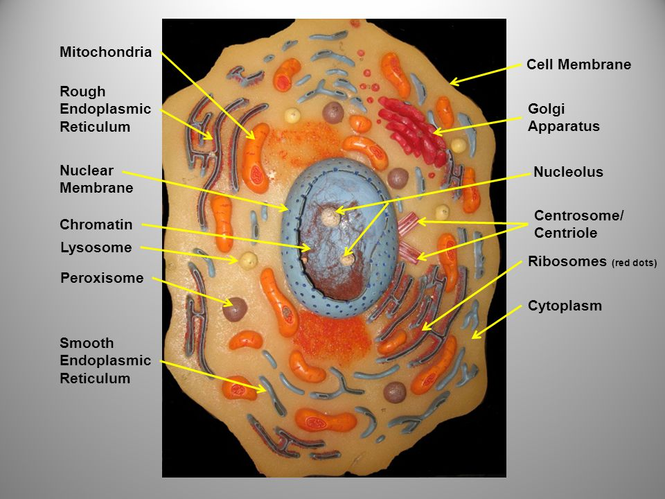 Rough Endoplasmic Reticulum Nuclear Membrane Chromatin Peroxisome Lysosome Smooth Endoplasmic Reticulum Mitochondria Cell Membrane Golgi Apparatus Centrosome/ Centriole Nucleolus Ribosomes (red dots) Cytoplasm