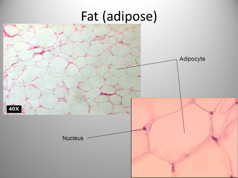 Fat (adipose) Nucleus Adipocyte
