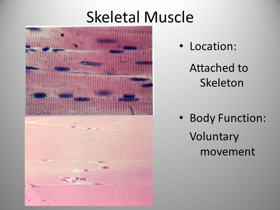 Skeletal Muscle Location: Body Function: Attached to Skeleton Voluntary movement