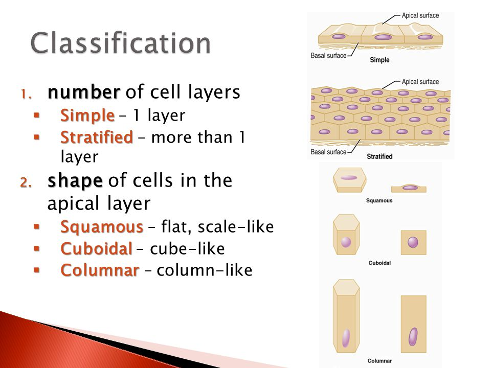 1. number 1. number of cell layers  Simple  Simple – 1 layer  Stratified  Stratified – more than 1 layer 2. shape 2. shape of cells in the apical