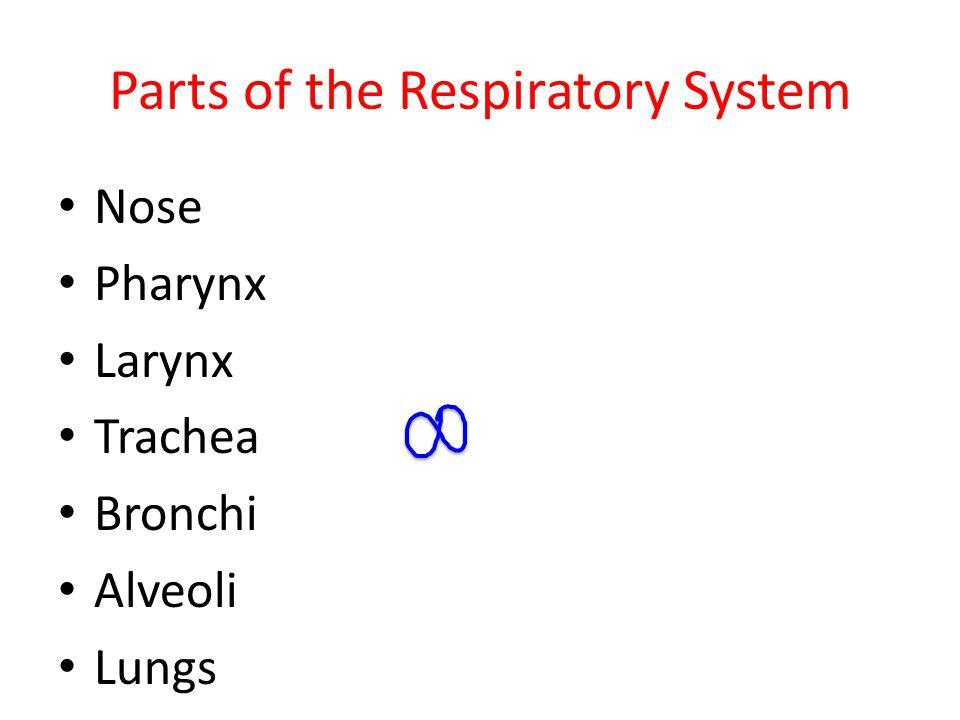Parts of the Respiratory System Nose Pharynx Larynx Trachea Bronchi Alveoli Lungs