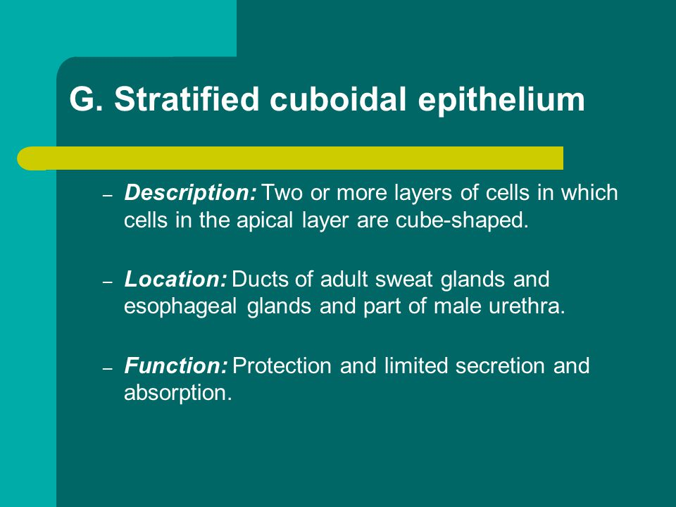 G. Stratified cuboidal epithelium – Description: Two or more layers of cells in which cells in the apical layer are cube-shaped. – Location: Ducts of
