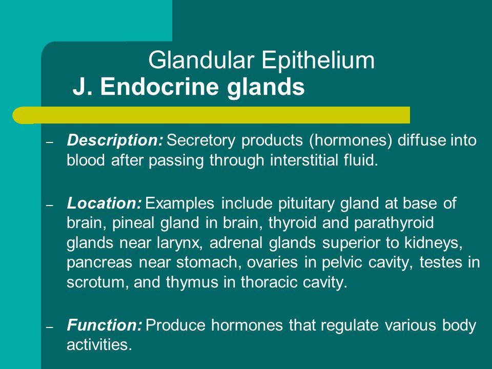 Glandular Epithelium J. Endocrine glands – Description: Secretory products (hormones) diffuse into blood after passing through interstitial fluid. – L