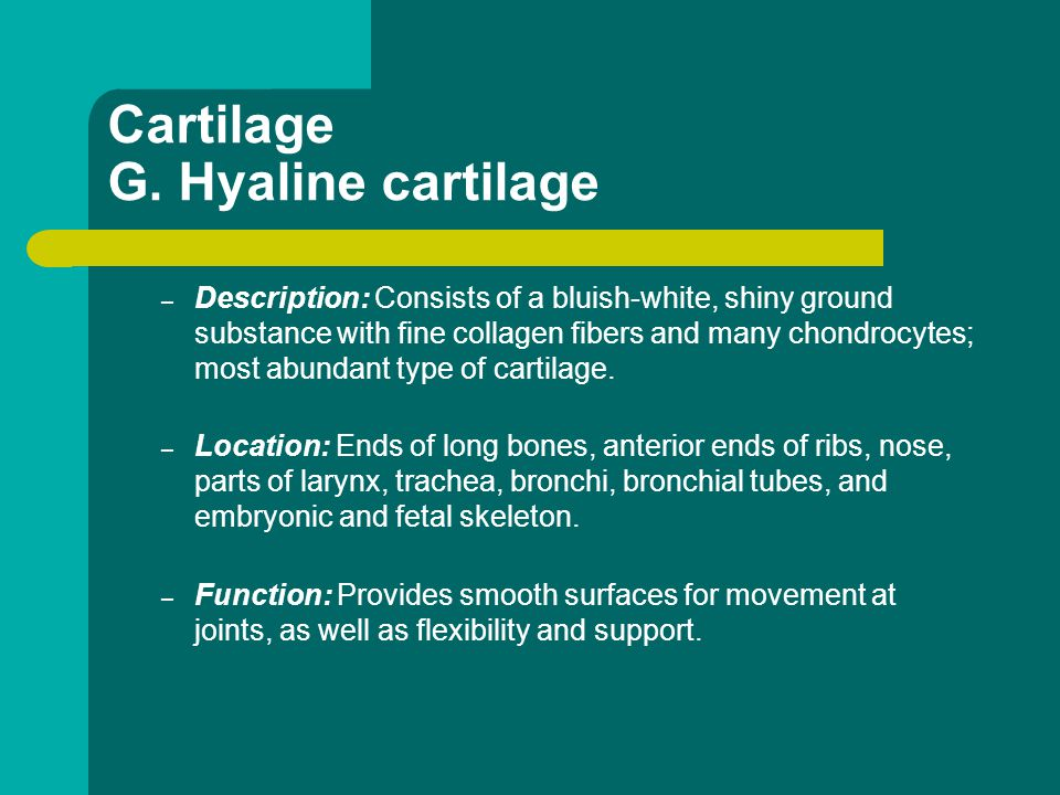 Cartilage G. Hyaline cartilage – Description: Consists of a bluish-white, shiny ground substance with fine collagen fibers and many chondrocytes; most