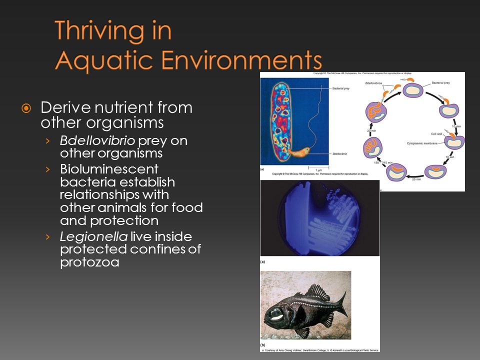  Derive nutrient from other organisms › Bdellovibrio prey on other organisms › Bioluminescent bacteria establish relationships with other animals for