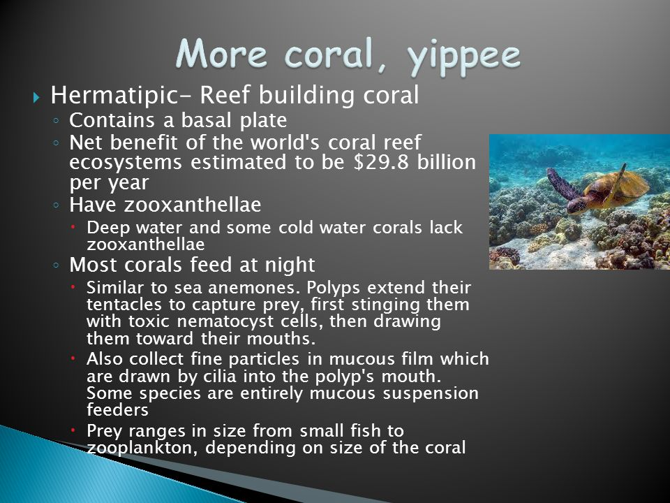  Hermatipic- Reef building coral ◦ Contains a basal plate ◦ Net benefit of the world s coral reef ecosystems estimated to be $29.8 billion per year ◦ Have zooxanthellae  Deep water and some cold water corals lack zooxanthellae ◦ Most corals feed at night  Similar to sea anemones.