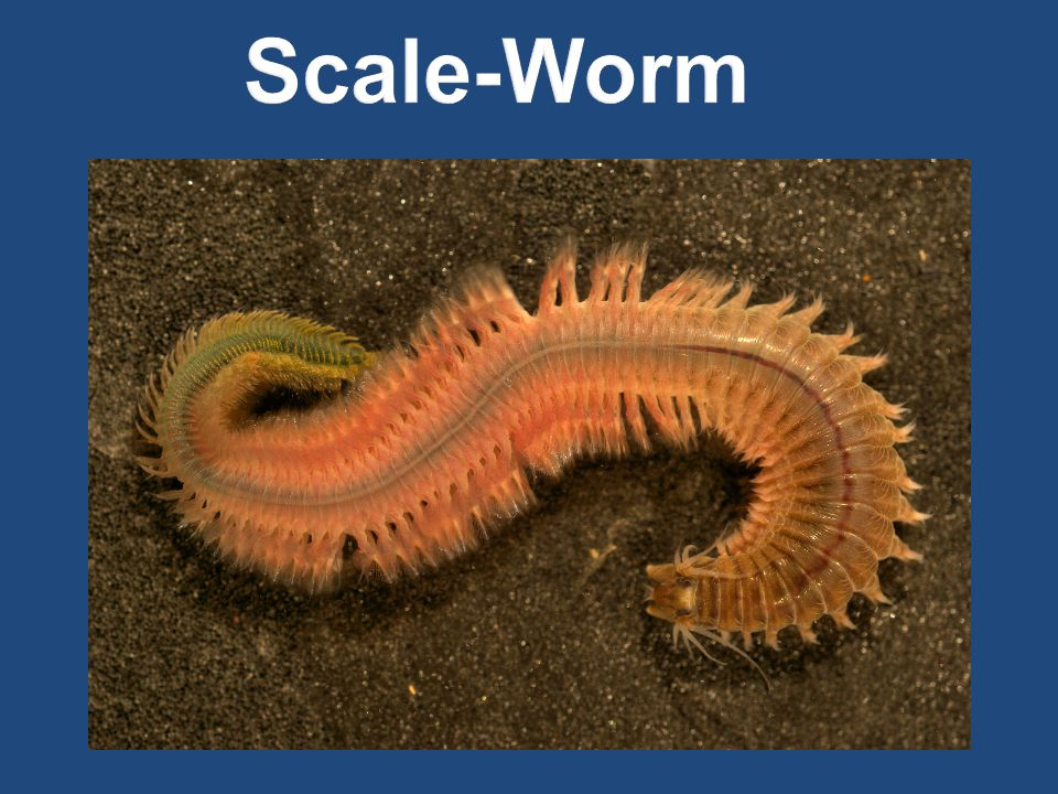 Scale-Worm