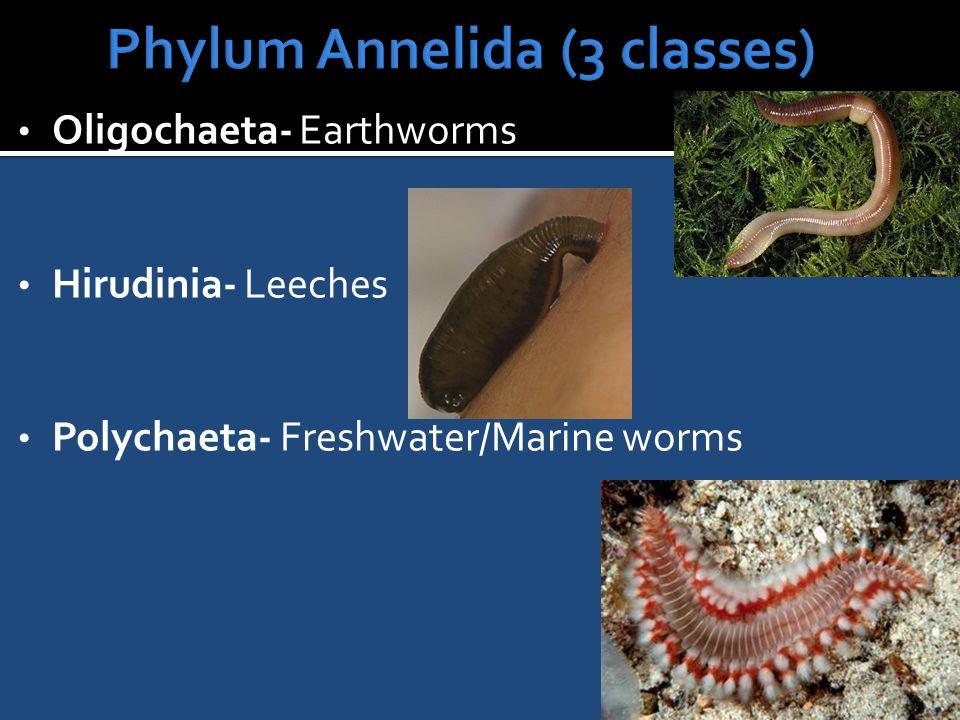 Oligochaeta- Earthworms Hirudinia- Leeches Polychaeta- Freshwater/Marine worms
