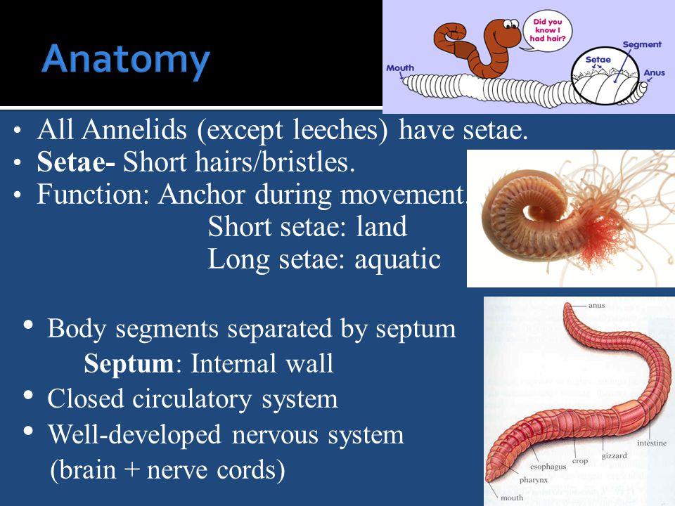 All Annelids (except leeches) have setae. Setae- Short hairs/bristles.