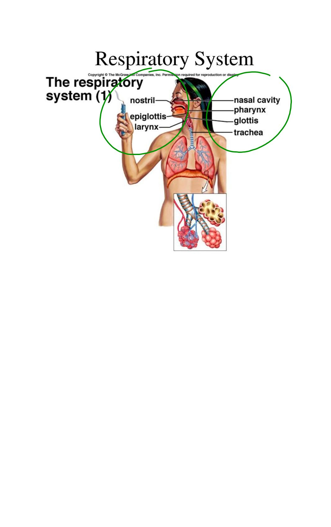 Respiratory System Functions supplies the body with oxygen and disposes of carbon dioxide filters inspired air produces sound contains receptors for smell rids the body of some excess water and heat helps regulate blood pH