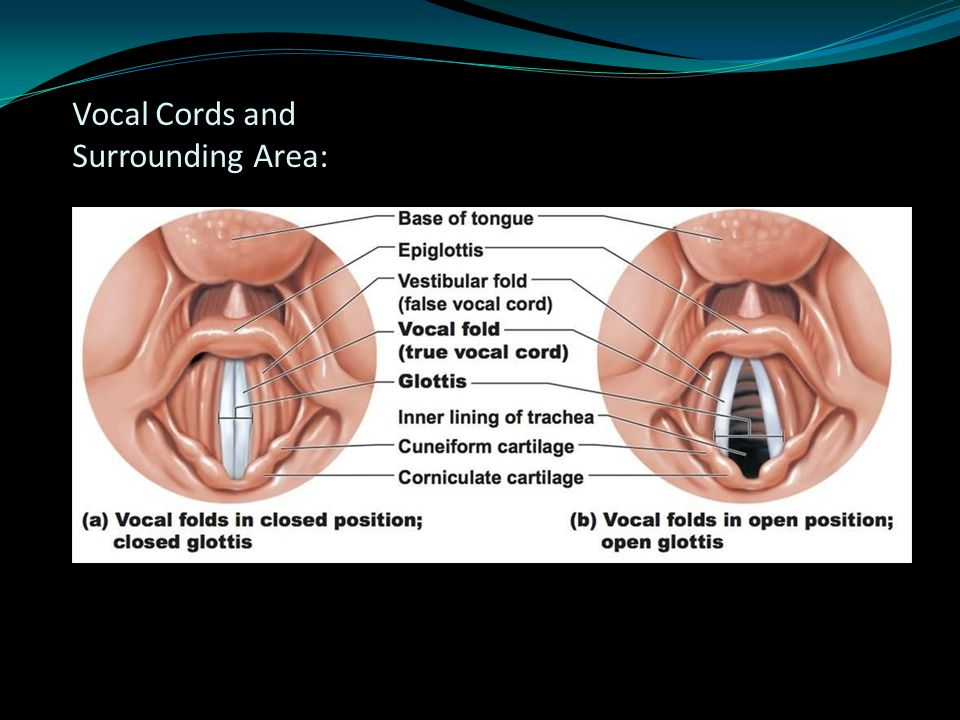Vocal Cords and Surrounding Area: