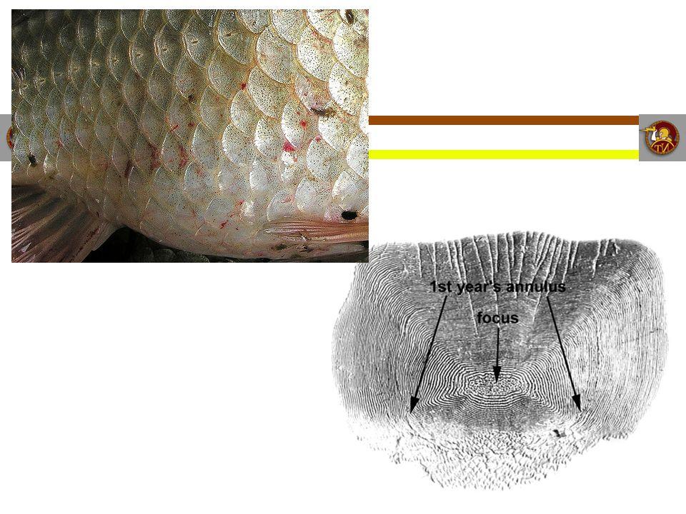 Bony Fishes Classification Kingdom: Animalia (Animal) Phylum: Chordata (Chordate) Sub Phylum: Vertebrata (Vertebrate) Infra Phylum: Gnathostomata (Has A Jaw) Class: Osteichthyes (Bony Fishes)