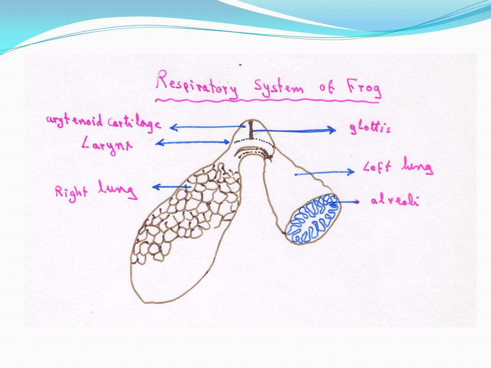 In the majority of species, only one lung is functional.