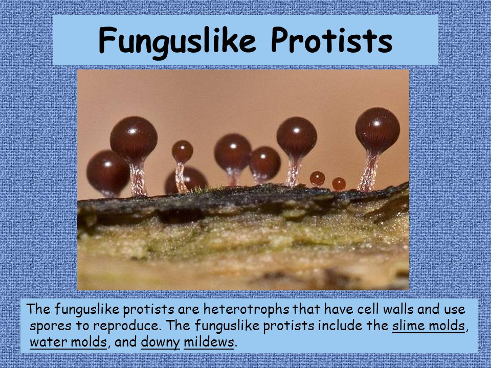 Funguslike Protists The funguslike protists are heterotrophs that have cell walls and use spores to reproduce.