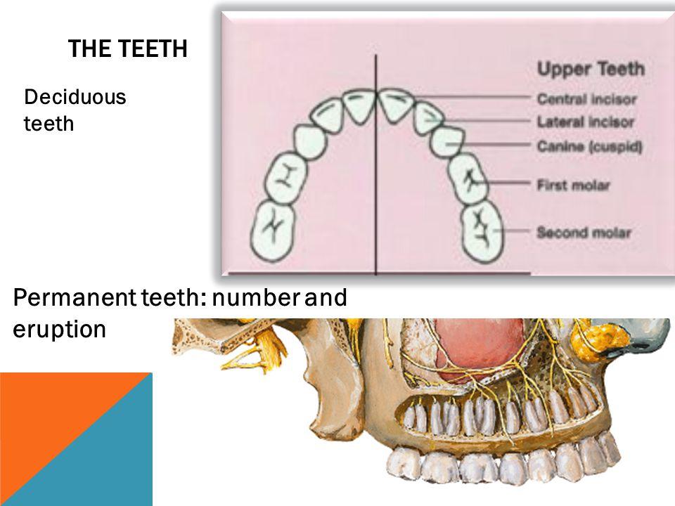THE TEETH Permanent teeth: number and eruption Deciduous teeth